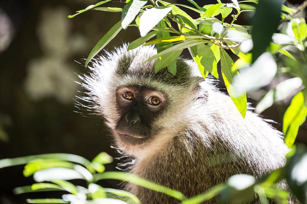 Vervet Monkey at Monkeyland Primate Sanctuary in Plettenberg Bay