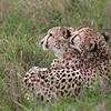 Grooming Cheetahs