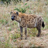 Hyena in Kruger National Park in South Africa