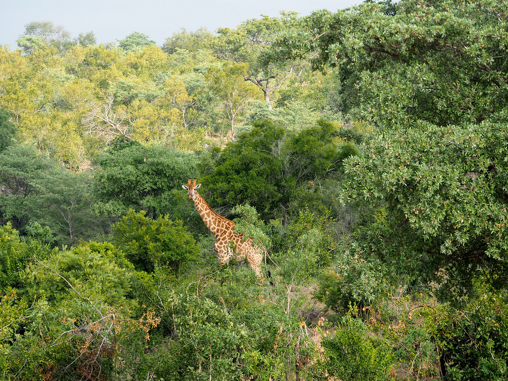 Giraffe in trees in Kruger National Park