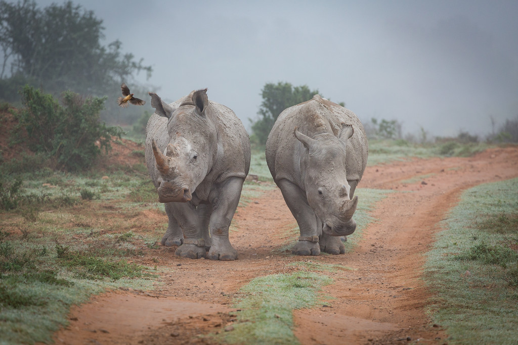 A pair of Rhinos in the mist at  Amakhala Game reserve,  Eastern Cape