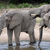 Elephants (loxodonta africana) enjoy a drink on a warm afternoon