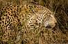 Leopard Camoflauge
