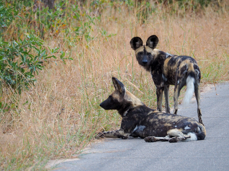Wild dogs in Kruger National Park