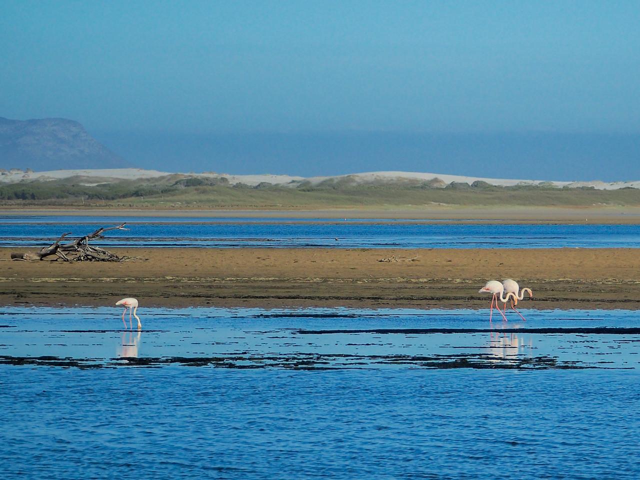 Flamingos near Gansbaai, South Africa