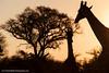 Giraffes, Kruger National Park, Mpumalanga, South Africa.