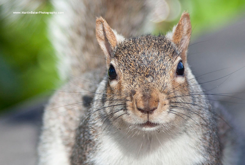 Grey Squirrel, Cape Town, South Africa.