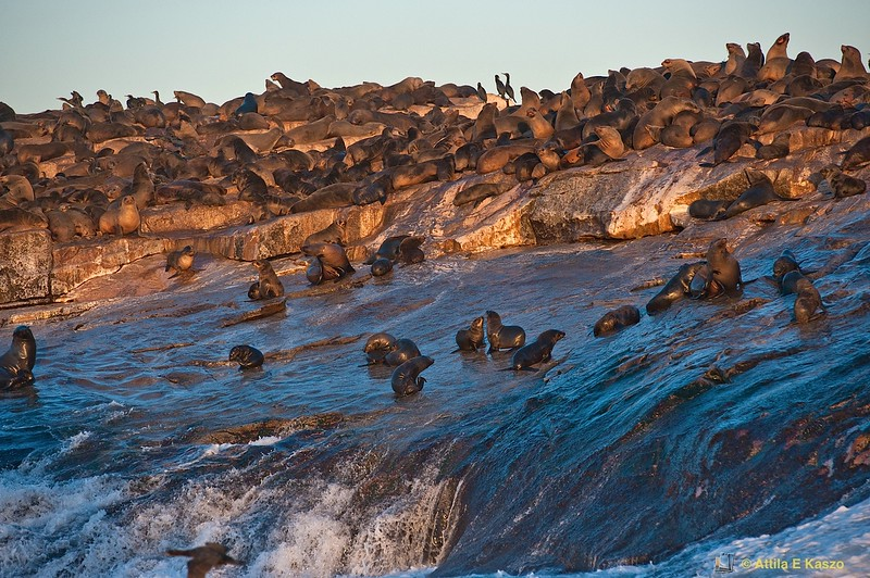 Cape Fur Seals (Arctocephalus pusillus), False Bay, Seal Is.