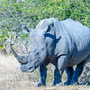 Southern White Rhinoceros:  South Africa