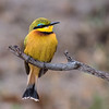A small bee-eater (merops pusillus) shows off its colors while perched on a branch