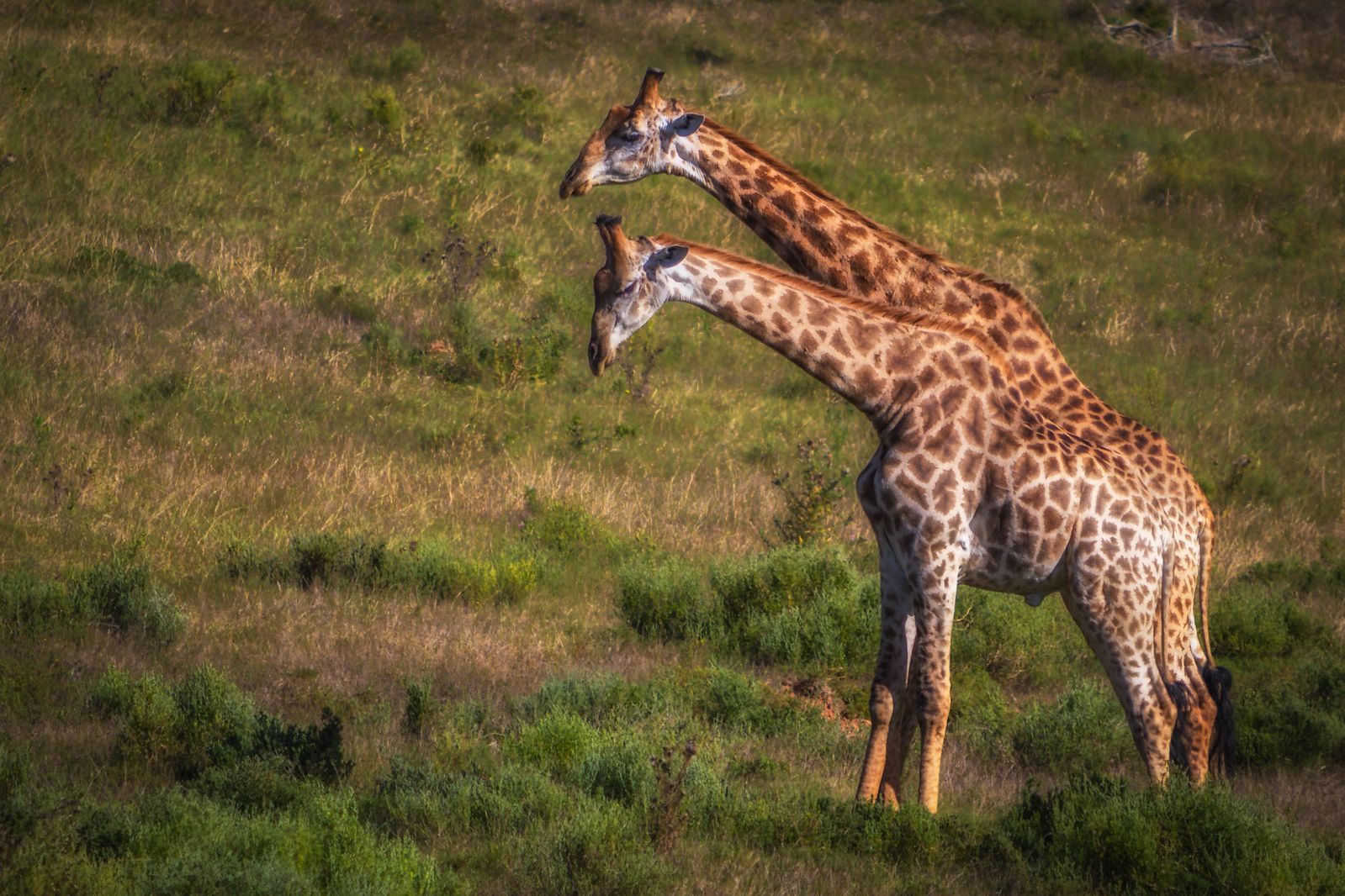 Two Giraffes out for a stroll. wildlife south africa