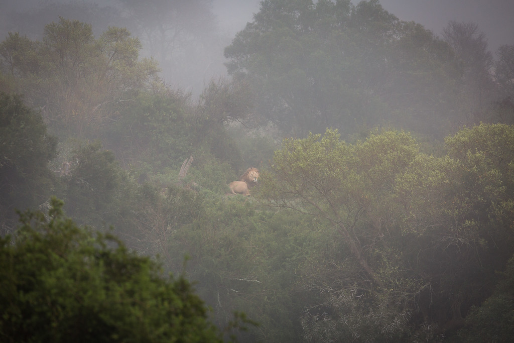 A Lion in the mist on the far side of Bushmans River in Amakhala Game Reserve, Eastern Cape. He had just given us a roar to let us know where he was.