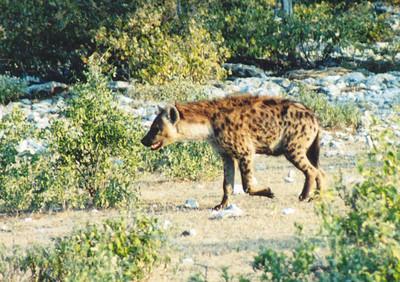 Spotted Hyena, Etosha NP