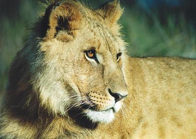Lion at the Antelope Park, Gweru
