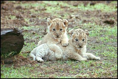 Lion cubs at the Antelope Park, Gweru