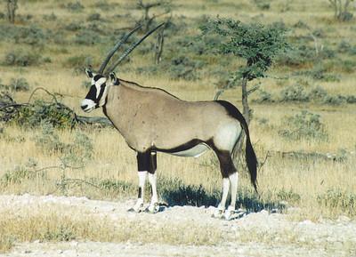Gemsbok, Etosha NP