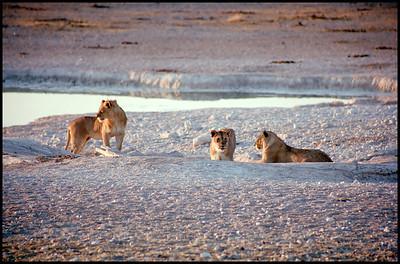 Lions at Etosha NP