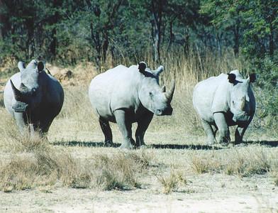White rhinos at Matopos NP