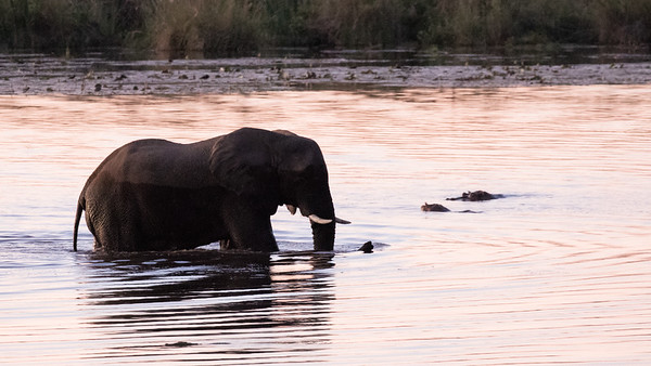 Elephant crossing the river. Note the Hippo and Croc are getting out of the way!