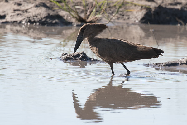 Hamerkop, fishing