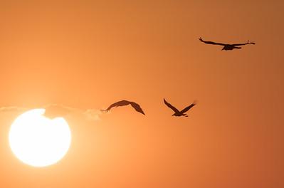 Marabou Stork, sunset