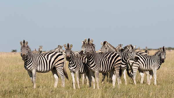 Migrating Plains Zebra