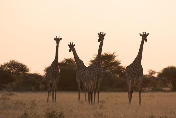 Giraffe at Nxai pans