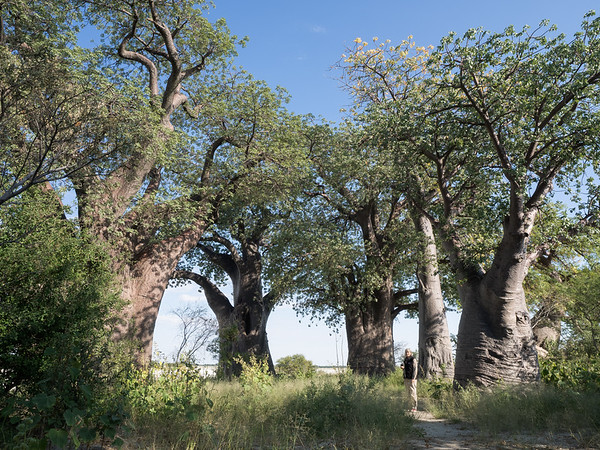 Baobab Tree, Nxai GR