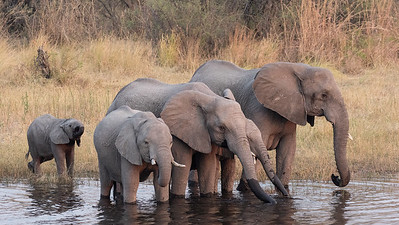 Elephants in Mudumu National Park, Nambia