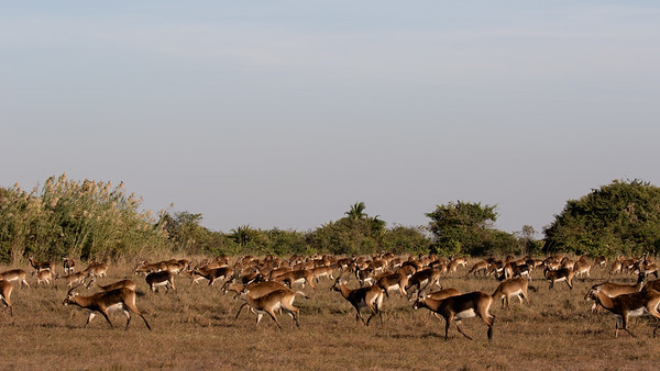 Some of the 20,000 Black Lechwe at Bangweulu wetland