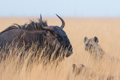 Hyena hunting a Wildebeest