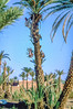 Harvesting date palms, an important economical activity in oases.