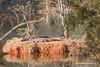 Nile Crocodiles, Mlilwane Wildlife Sanctuary, Swaziland.