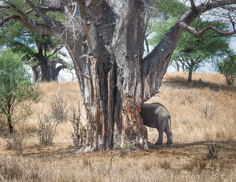 Elephant and the Baobab tree, Tarangari, Tanzania