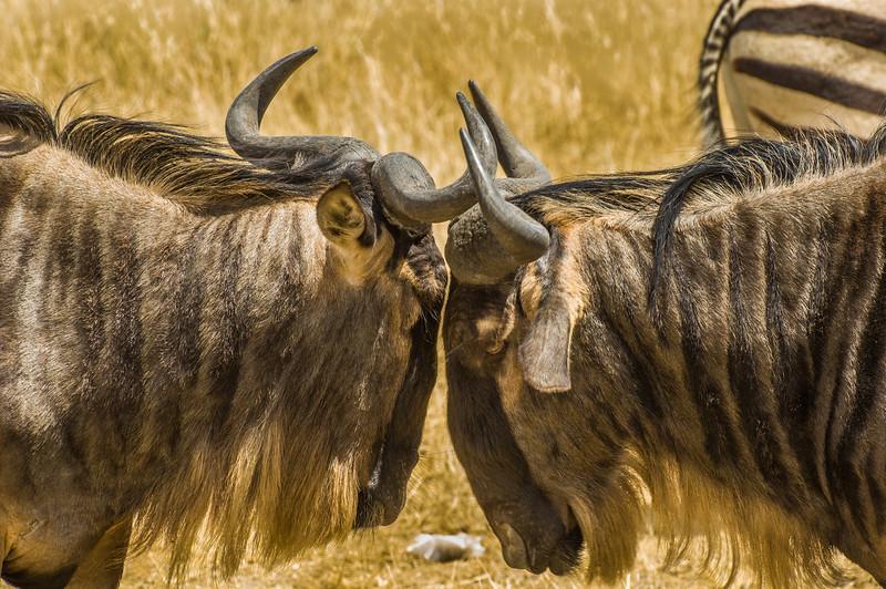 Wildebeest, Ngorongoro Creater, Tanzania