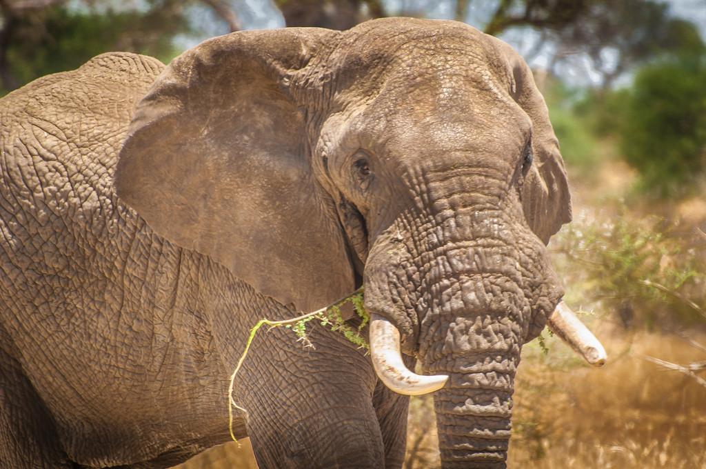 Bull Elephant, Tarangari Tanzania