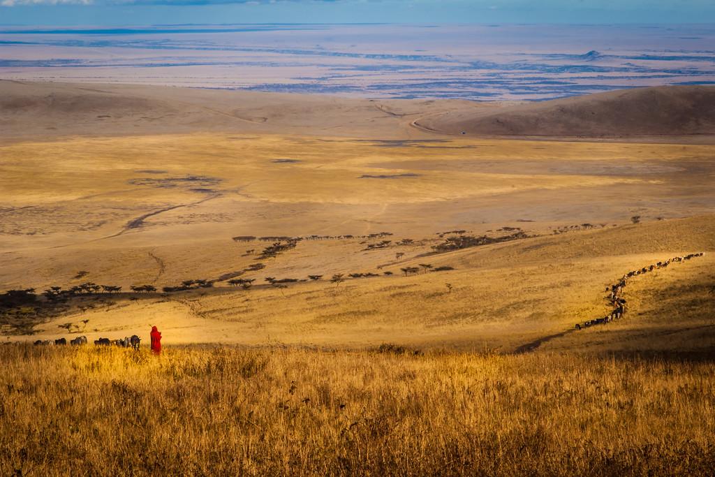 Maasai herding cattle toward  Serengeti plain Tanzania