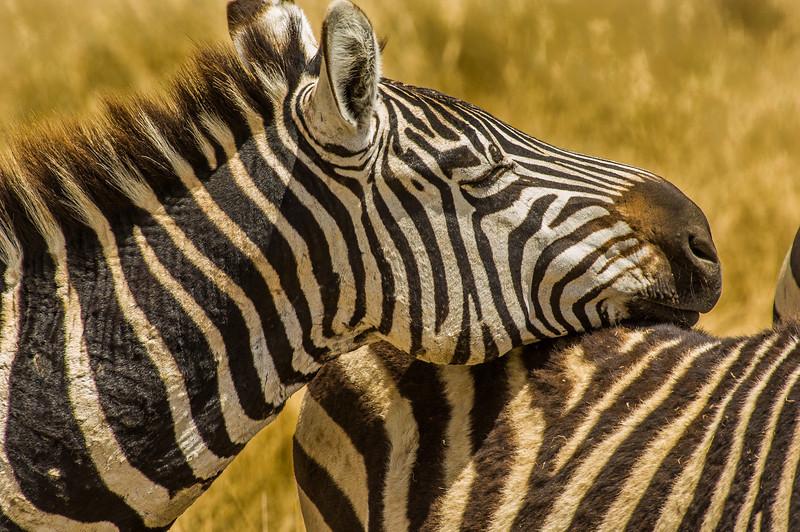Zebra's, Ngorongoro Creater, Tanzania
