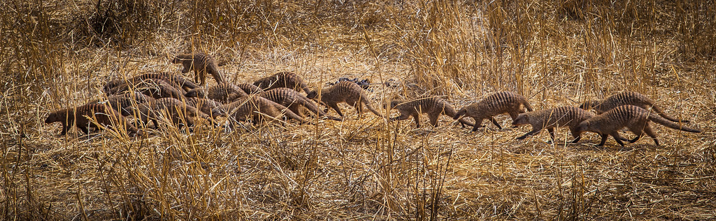 Mongoose Pack, Tarangari Tanzania