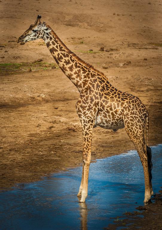 Giraffe,Tarangari Tanzania
