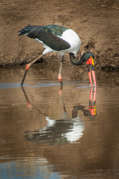 Saddle-billed Stork, Tarangari Tanzania