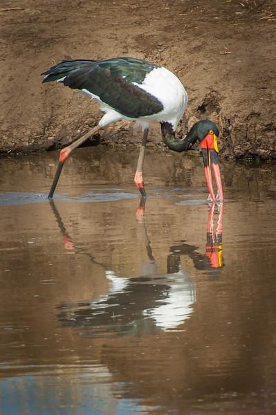 Saddle-billed Stork, Tarangari Tanzania