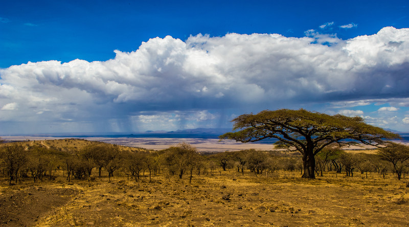 Acacia Tree, View of Serengeti, Tanzania