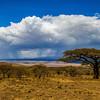 Acacia Tree, View of Serengeti, Tanzania