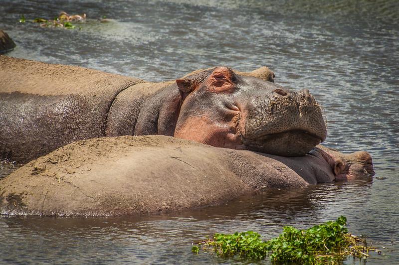 Hippos, Ngorongoro Creater, Tanzania