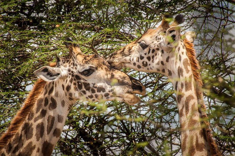 Giraffe, Tarangari Tanzania