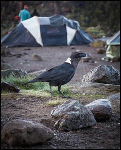 White necked raven