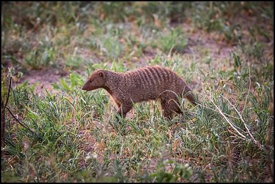 Banded mongoose, Tarangire NP