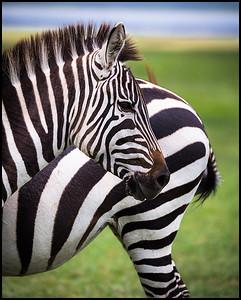 Zebra, Ngorongoro Conservation Area