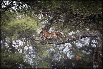 Leopard, Tarangire NP